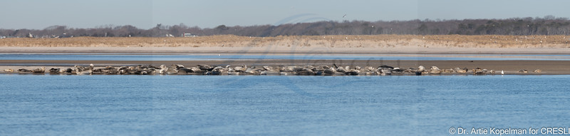 All of the 126 Atlantic harbor seals hauled out. Panorama stitched in Lightroom Classic from 5 images
