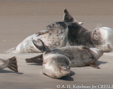 Harbor seals before being flushed fro the haulout site