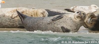 seals at Cupsogue Beach
