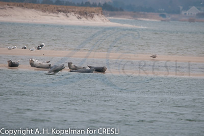 Seals at Cupsogue Beach, CRESLI seal walks, 2010