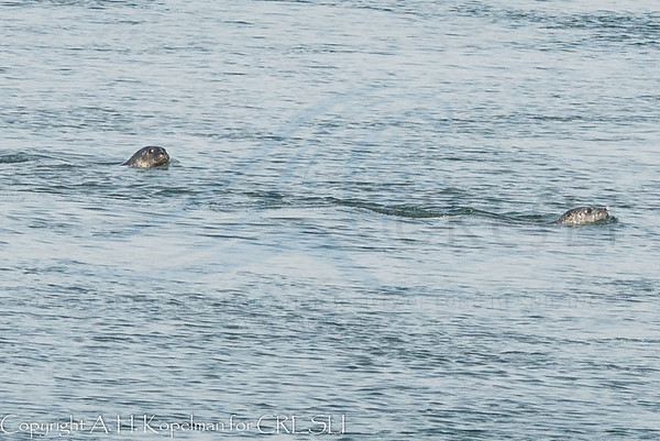 Cupsogue seal walk 2013-12-01