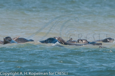 Early in haulout of seals at Cupsogue Beach 4/17/11
