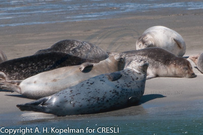 90 harbor seals hauled out during CRESLI seal walk