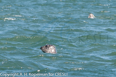Harbor Seals at Cupsogue Beach, just hauling out 2 hours prior to seal walk