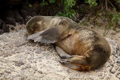 This very young sea lion was photographed napping on a rock in the Galapagos.