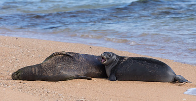 A Hawaiian Monk Seal Pup  Cries  Out in Frustration Becasue There is No More Milk!