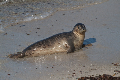 An inquisitive Harbor seal studying on the California coast south of Monterey.
