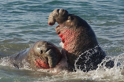 Two massive bull elephant seals fight for dominance on the California coast.