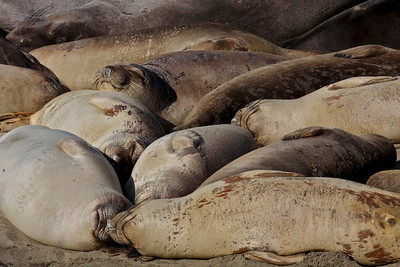 An arrangement of Elephant Seals.