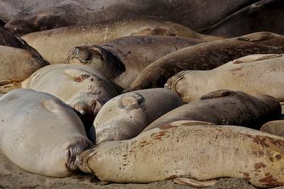 An arrangement of Elephant Seals.