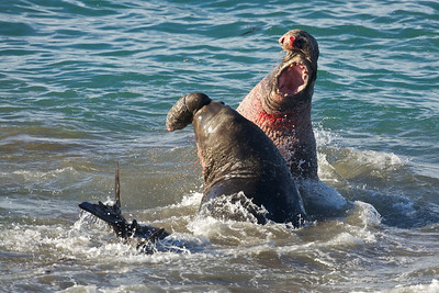 The beachmaster eventually beat back the interloper and kept control of his harem on the California coast.