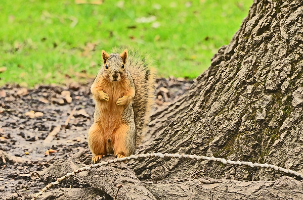 Pioneer Park squirrel, Sculpture: 3-29-17