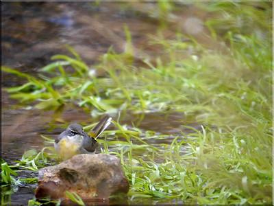 Grey Wagtail (Motacilla cinerea), Water End, Nr Hemel Hempstead, Hertfordshire, 10/02/2012. (Full frame shot)