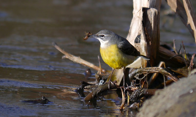 """Grey Wagtail (Motacilla cinerea), Water End, Nr Hemel Hempstead, Hertfordshire, 19/02/2012. A clear view of the dragonfly nymph! Best viewed in """"Original"""" size if you want to see the catch clearly."""