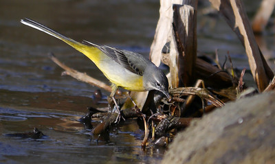 Grey Wagtail (Motacilla cinerea), Water End, Nr Hemel Hempstead, Hertfordshire, 19/02/2012. Away from the river Gade there's a small pond, where the Wagtail found a dragonfly nymph.
