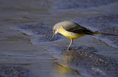 Grey Wagtail (Motacilla cinerea), Water End, Nr Hemel Hempstead, Hertfordshire, 19/02/2012. Looking for more food to catch.