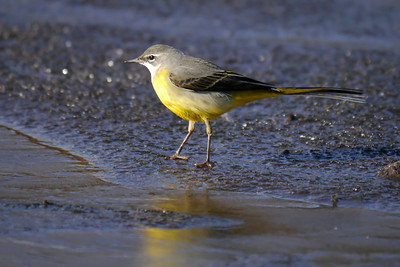 Grey Wagtail (Motacilla cinerea), Water End, Nr Hemel Hempstead, Hertfordshire, 19/02/2012. I loved the way the yellow plumage reflected on the surface of the ice.