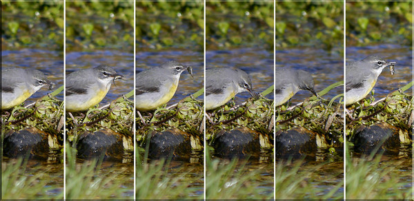 Grey Wagtail (Motacilla cinerea), Water End, Nr Hemel Hempstead, Hertfordshire, 19/02/2012. The process of dealing with a young stickleback! Best viewed in X2Large size.