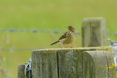 Meadow Pipit (Anthus pratensis), Pitstone Hill, Buckinghamshire, 20/06/2012.