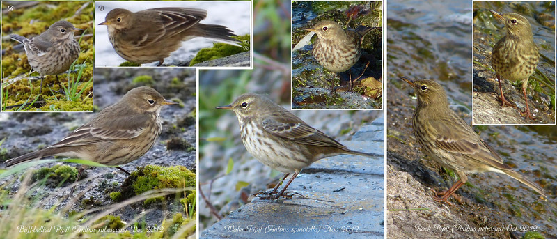 Buff-bellied, Water & Rock Pipits, Side-by-Side Comparison, Winter 2012