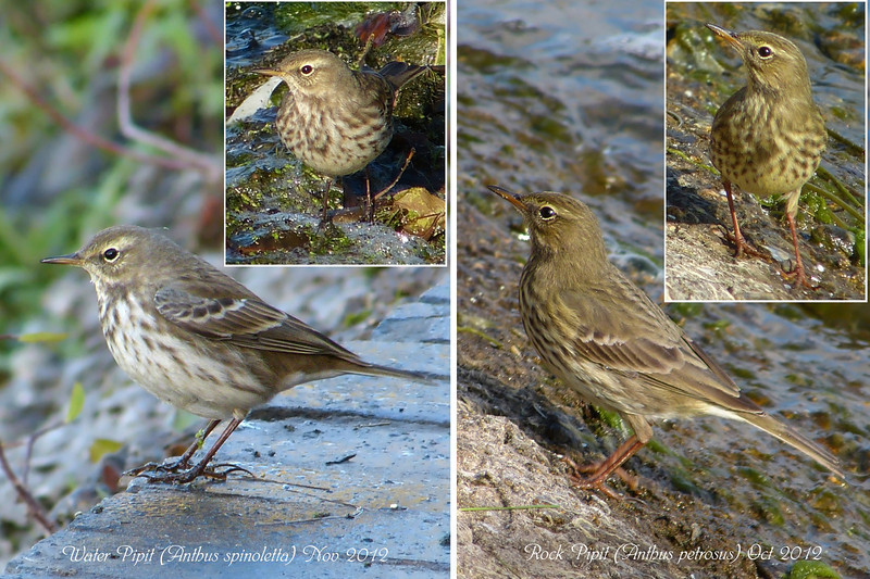 Water & Rock Pipit, Side-by-Side Comparison with Notes