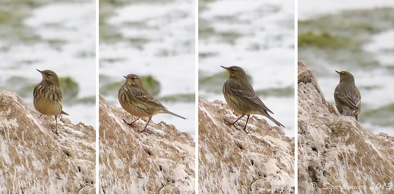 Scandinavian Rock Pipit, Autumn 2013, Sighting Notes