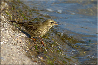 Rock Pipit (Anthus petrosus), Wilstone Reservoir, Nr Tring, Hertfordshire, 10/10/2012. The bird had just found something interesting to eat....no idea what though...