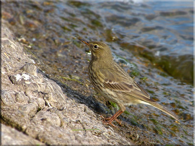 Rock Pipit (Anthus petrosus), Wilstone Reservoir, Nr Tring, Hertfordshire, 10/10/2012. A full profile view of the bird.