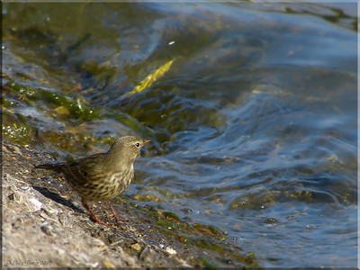 Rock Pipit (Anthus petrosus), Wilstone Reservoir, Nr Tring, Hertfordshire, 10/10/2012. The gently lapping waters of the reservoir look a lot more perilous when you're the size of a pipit!