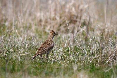 Skylark (Alauda arvensis), Pitstone Hill, Buckinghamshire, 25/03/2012