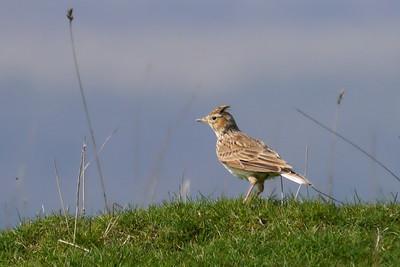 Skylark (Alauda arvensis), Pitstone Hill, Buckinghamshire, 23/03/2012