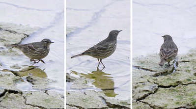 Scandinavian Rock Pipit (Anthus petrosus littoralis), Startop's End Reservoir, Hertfordshire, 17/03/2012. A composite of 3 shots of one of the birds, showing front, side and back plumage views. Distant shots, heavy crops.