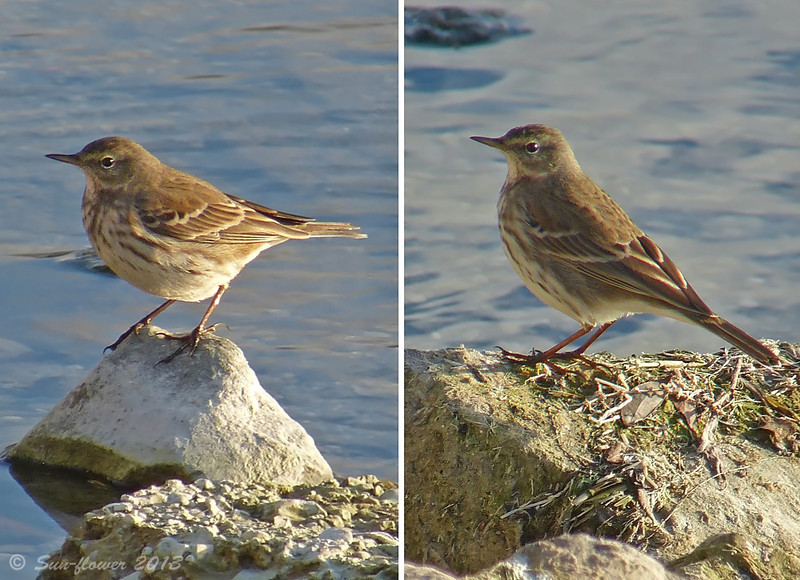 Water Pipit (Anthus spinoletta), Autumn 2013