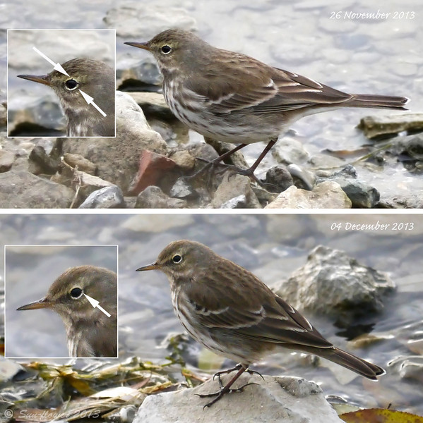 Water Pipit(s) (Anthus spinoletta), One Week Apart, Autumn/Winter 2013
