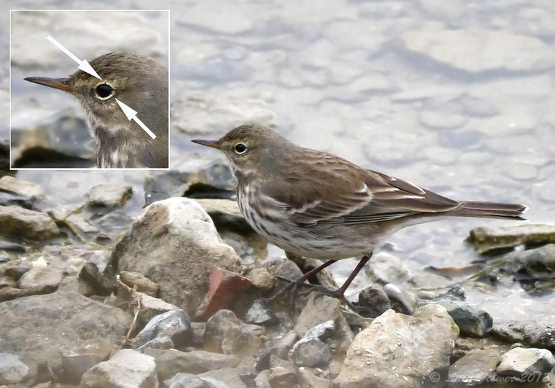 Water Pipit (Anthus spinoletta), Eye-ring nicks, Autumn 2013