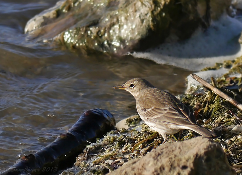 Water Pipit (Anthus spinoletta), Feeding, December 2013