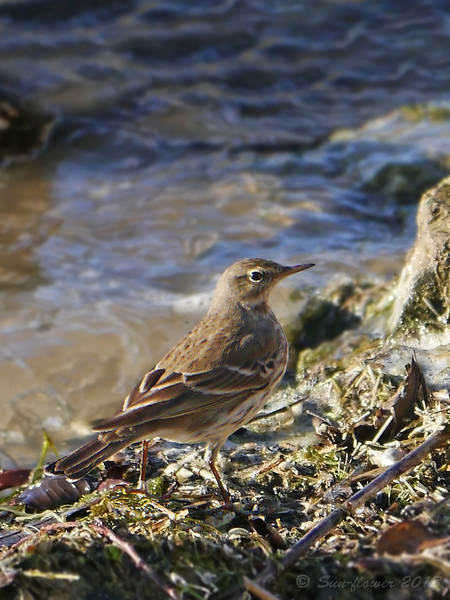 Water Pipit (Anthus spinoletta), December 2013