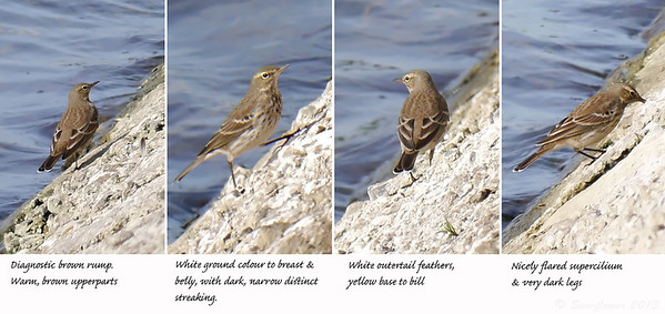 Water Pipit (Tring Reservoirs, 2013-2014)