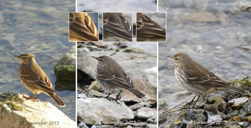 Water Pipit (Anthus spinoletta), Tertial Wear, Autumn/Winter 2013