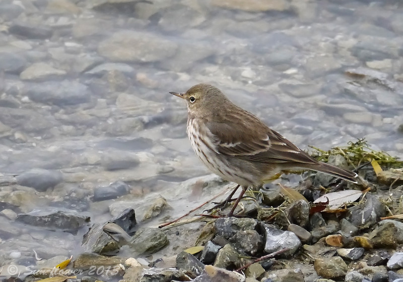 Water Pipit (Anthus spinoletta), possibly lacking eye-ring nicks, December 2013