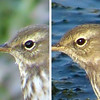 Water Pipit, Eye-ring Notch Feature, Autumn/Winter 2012 (November)