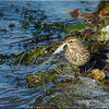 Water Pipit, Autumn/Winter 2012 (November), 5 of 9