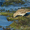 Water Pipit, Autumn/Winter 2012 (November), 3 of 9