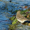 Water Pipit, Autumn/Winter 2012 (November), 4 of 9