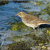 Water Pipit, Autumn/Winter 2012 (November), 1 of 9
