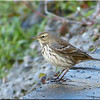 Water Pipit, Autumn/Winter 2012 (November), 9 of 9