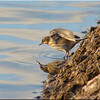Water Pipit, Winter 2012 (December)