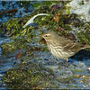 Water Pipit, Autumn/Winter 2012 (November), 2 of 9