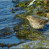 Water Pipit, Autumn/Winter 2012 (November), 6 of 9