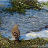 Water Pipit, Autumn/Winter 2012 (November), 7 of 9